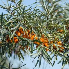 Havtorn Eva - Hunplante - Hippophae rhamnoides Eva