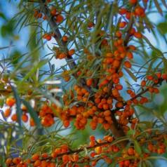 Havtorn Sirola - Hunplante - Hippophae rhamnoides Sirola