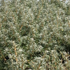 Havtorn Otto - Hanplante - Hippophae rhamnoides Otto
