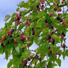 Morus alba Pendula - Hænge Morbær / 150 cm. stamme.