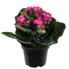 Brændende Kærlighed - Pink - Kunstig potteplante