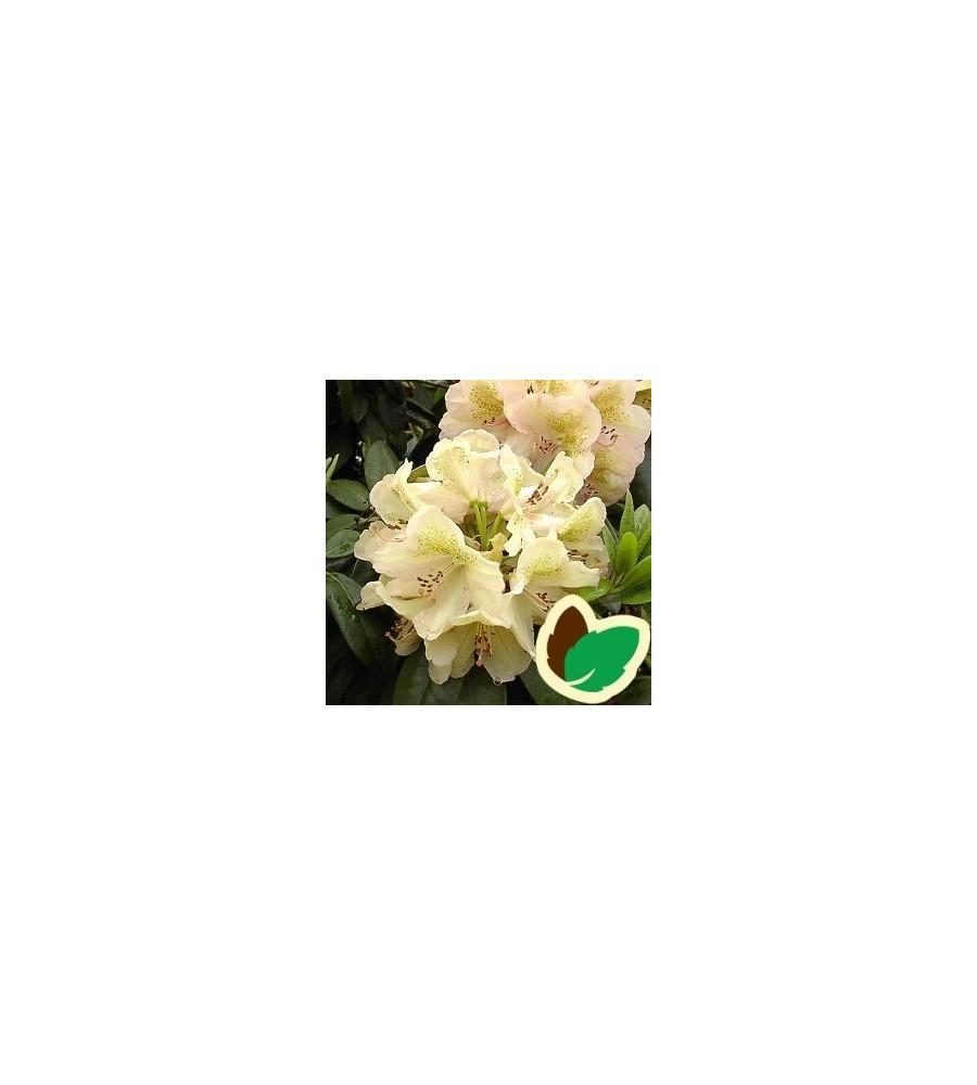Rhododendron hybrid Belkanto