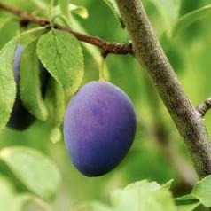 Blommetræ Juna - Prunus domestica Juna