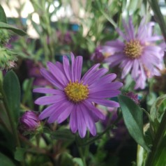 Aster amellus Lady Hindlip / Asters