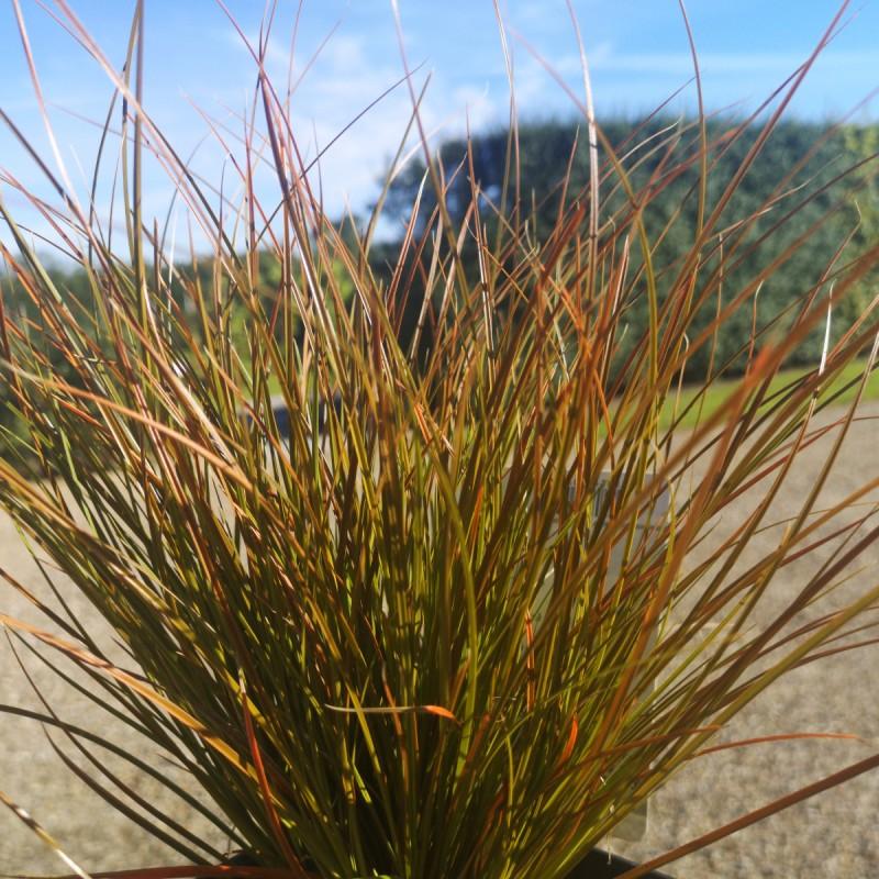 Carex testacea Prairie Fire / Star