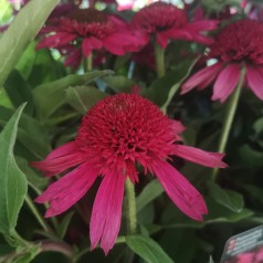 Echinacea purpurea Delicious Candy / Purpursolhat