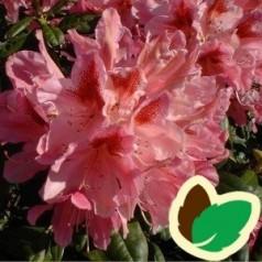 Rhododendron hybrid Cosmopolitan