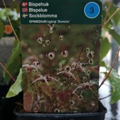 Epimedium hybrid Domino / Bispehue
