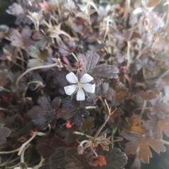 Geranium hybrid Sanne - Storkenæb