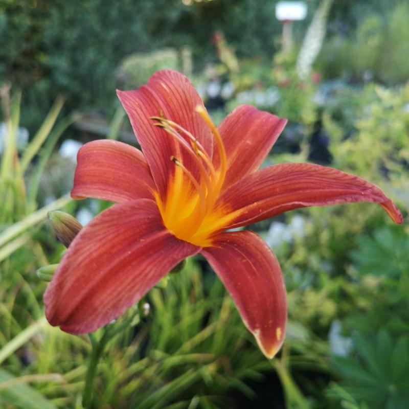 Hemerocallis hybrid Sammy Russell / Daglilje