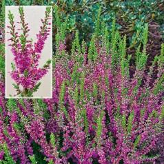 Calluna vulgaris Allegro - Efterårslyng