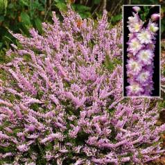 Calluna vulgaris Radnor / Efterårslyng