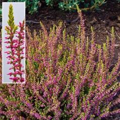 Calluna vulgaris Bonita® / Efterårslyng