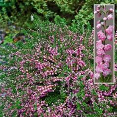 Calluna vulgaris Red Favorit / Efterårslyng