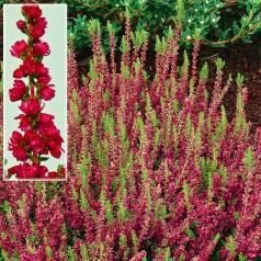 Calluna vulgaris Dark Beauty / Efterårslyng
