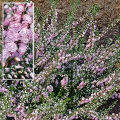 Calluna vulgaris County Wicklow / Efterårslyng