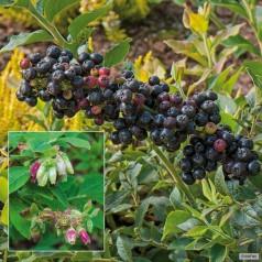 Håret blåbær - Vaccinium hirsutum