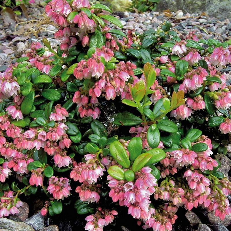 Tyttebær var. minus - Vaccinium vitis-idaea var. minus
