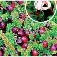 Tranebær Stevens - Vaccinium macrocarpum Stevens