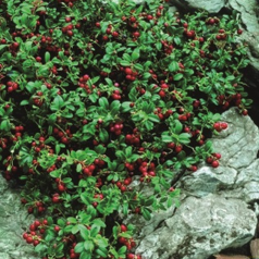 Tyttebær Erntekrone - Vaccinium vitis-idaea Erntekrone