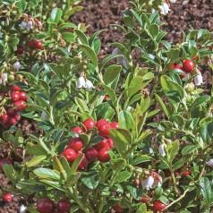 Tyttebær Korella - Vaccinium vitis-idaea Koralle