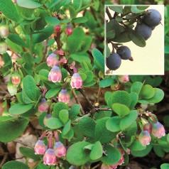 Mosebølle - Vaccinium uliginosum