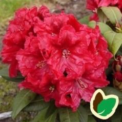 Rhododendron hybrid Rabatz