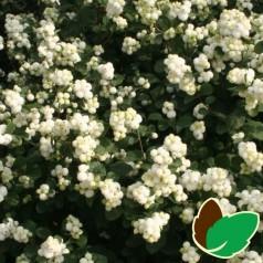 Hvid Snebær 50-80 cm. - Bundt med 10 stk. barrodsplanter - Symphoricarpos doorenbosii White Hedge
