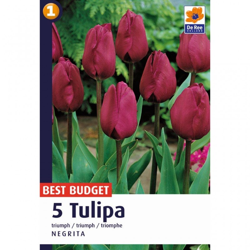 Tulipanløg Negrita / Darwin Tulipan - 5 Løg
