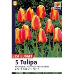 Tulipanløg Apeldoorn's Elite / Darwin Tulipan - 5 Løg