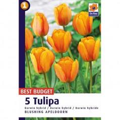 Tulipanløg Blushing Apeldoorn / Tulipan - 5 Løg