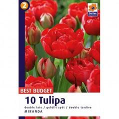 Tulipanløg Doubla Late Miranda / Tulipan - 10 Løg