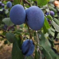 Blommetræ President - Prunus domestica President