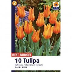 Tulipanløg Ballerina - Liljeblomstrende Tulipan / 10 Løg
