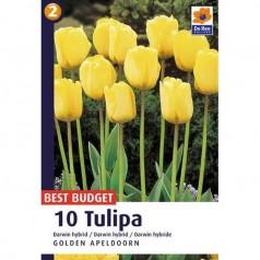 Tulipanløg Golden Apeldoorn