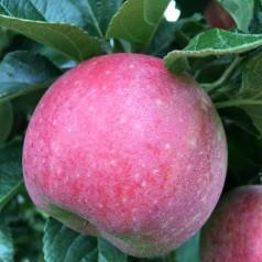 Dværg Æbletræ Aroma