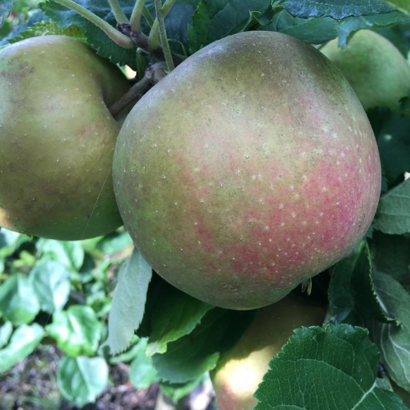 Æbletræ Belle De Boskoop