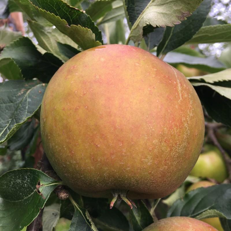 Æbletræ Cox Orange