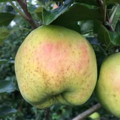 Dværg Æbletræ Filippa