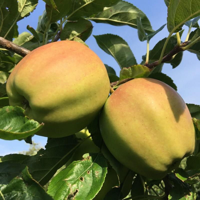 Æbletræ Golden Delicious