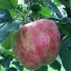 Æbletræ Rød Gråsten