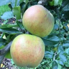 Dværg Æbletræ Holsteiner Cox