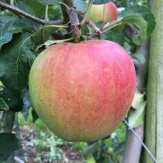 Æbletræ Jonagold