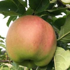 Æbletræ Mutzu / Mutsu