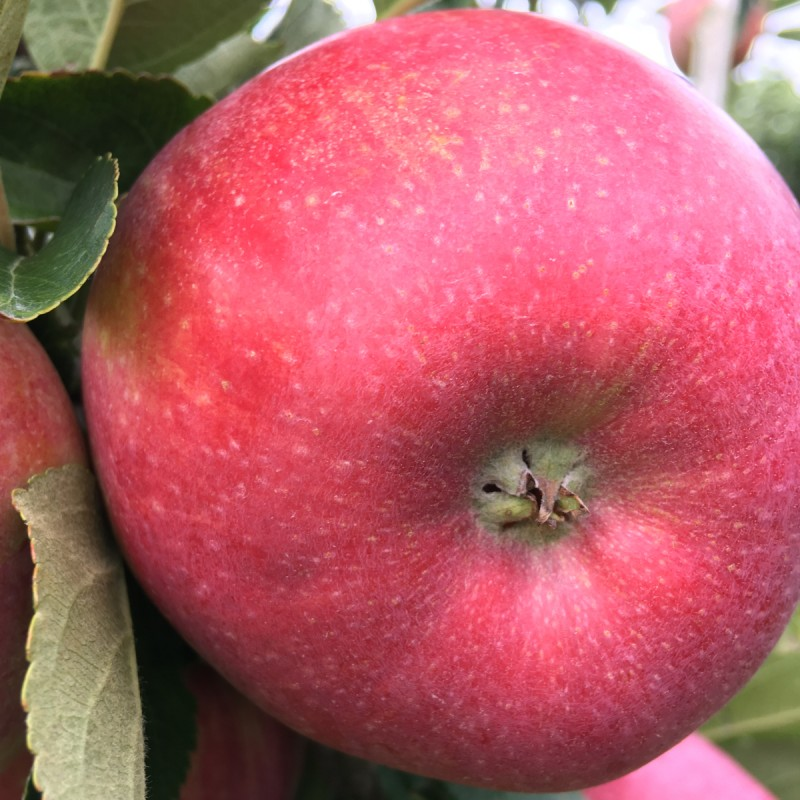 Æbletræ Rød Aroma