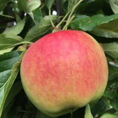 Dværg Æbletræ Rød Elstar