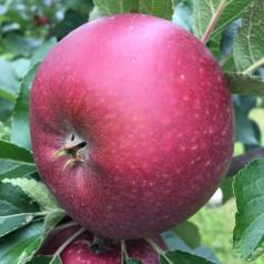 Dværg Æbletræ Rød Ingrid Marie