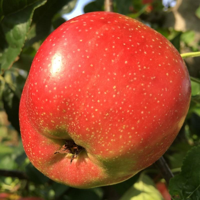 Æbletræ Summerred