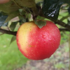 Dværg Æbletræ Discovery