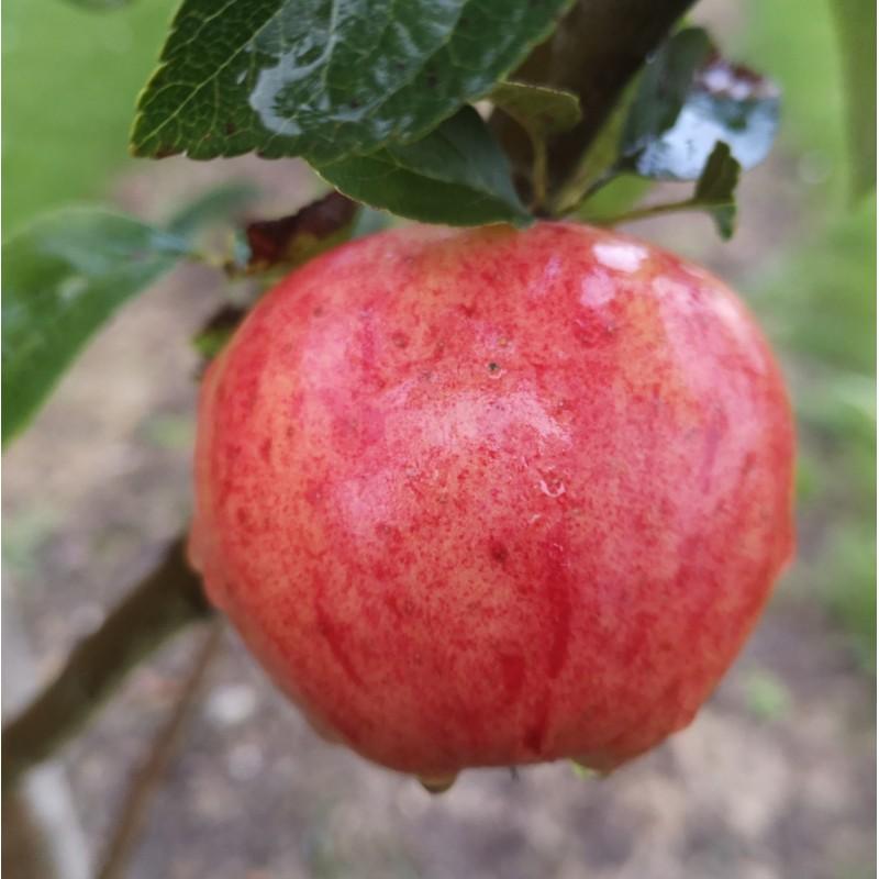 Æbletræ Guldborg
